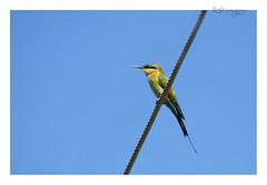 Rainbow Bee Eater (Greenstone Girl) Tags: yorkeys knob cairns suburb boat club beach fnq farnorthqueensland flickrsbest