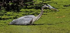 Blue Heron (Professor Bop) Tags: blueheron bird wildlife nature pond water hamdenconnecticut professorbop drjazz olympusem1 olympuszuiko50200mmlens fourthirdsphotography zoom