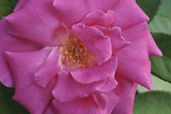 Second Time Around - Zephirine Drouhin (Modkuse) Tags: rose flower nature natural art artphotography artistic artisticphotography flowerart photoart fineartphotography fineart zephirinedrouhin macro macrophotography macrolens macroflower 80mm 80mmmacro xf80mmf28rlmoiswrmacro xf80mmf28rlmoiswrmacrolens fujinonxf80mmf28rlmoiswrmacro fujifilm fujifilmxt2 fujinon xt2 classicchrome fujifilmxt2classicchrome