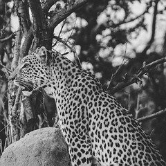 African Leopard AKA Panthera pardus pardus B&W part 2-3 A animal that is not always sighted when on safari, but when one does, it is always truly memorable. #BestOfAfrica #Cats #catsofinstagram #cats_of_instagram #catstagram #cats_of_world #Leopard #Leopa (uyaphi) Tags: ifttt instagram