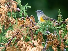 Paruline Flamboyante Sullivan 15-09-2019 (frankthewood63) Tags: 2019 valdor abitibi québec oiseaux oiseau birds bird sullivan