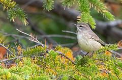 Paruline à Couronne Rousse Sullivan 15-09-2019 (frankthewood63) Tags: 2019 valdor abitibi québec oiseaux oiseau birds bird sullivan