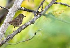 Bruant de Lincoln Sullivan 15-09-2019 (frankthewood63) Tags: 2019 valdor abitibi québec oiseaux oiseau birds bird sullivan