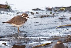 Pluvier semipalmé (frankthewood63) Tags: 2019 valdor abitibi québec oiseaux oiseau birds bird siscoe