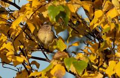 Paruline à couronne rousse-2 (frankthewood63) Tags: 2019 valdor abitibi québec oiseaux oiseau birds bird sullivan