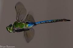 DSC_9029 (Brian Bateson) Tags: blue darner flying dragonfly anux