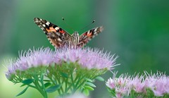 Garden Visitor (imageClear) Tags: butterfly insect animal feeding flower sedum autumnjoy wings macro closeup lovely color beauty nature paintedlady aperture nikon d500 105mm imageclear flickr photostream
