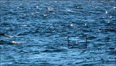 Record Shot - Wilson's Storm-Petrel (Oceanites oceanicus) (Steve Arena) Tags: racepointbeach rpb oceanitesoceanicus wilsonsstormpetrel wisp racepoint provincetown barnstablecounty massachusetts nikon d750 2019 bird birds birding