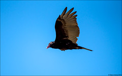 Turkey Vulture (Cathartes aura) (Steve Arena) Tags: rps racepointsouth turkey vulture cathartesaura racepoint provincetown barnstablecounty massachusetts nikon d750 2019 bird birds birding