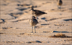 Whimbrel (Numenius phaeopus) (Steve Arena) Tags: racepointbeach rpb whimbrel numeniusphaeopus racepoint provincetown barnstablecounty massachusetts nikon d750 2019 bird birds birding