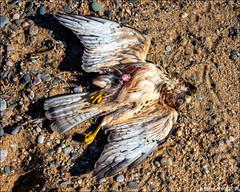 Merlin (Falco columbarius) - dead (Steve Arena) Tags: rps racepointsouth merlin falcocolumbarius racepoint provincetown barnstablecounty massachusetts nikon d750 2019 bird birds birding