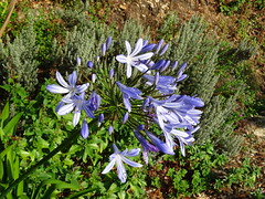 Bénodet (Brittany, France) 2019 (guyfogwill) Tags: guyfogwill guy fogwill flowers france september septembre brittany bretagne finistère boats bénodet bateau boat agapanthus flower brehec républiquefrançaise bateaux europe 29950 benoded 29 2019 bâteaux vacances cornouaille paysfouesnantais pennarbed flicker photo interesting absorbing engrossing fascinating riveting gripping compelling compulsive beach water coastline coastal