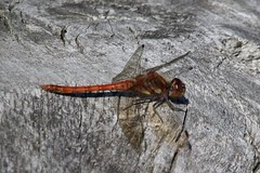 Img_6855 (steven.heywood) Tags: commondarter dragonfly