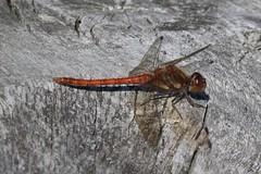 Img_6854 (steven.heywood) Tags: commondarter dragonfly