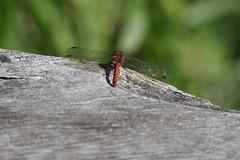 Img_6857 (steven.heywood) Tags: commondarter dragonfly