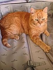 Jasmine (BrooksieC) Tags: cat jasmine suitcase pets ginger