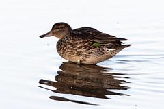 Sarcelle d'hiver (frankthewood63) Tags: 2019 valdor abitibi québec oiseaux oiseau birds bird
