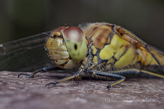 _IMG0304 Common Darter - Sympetrum striolatum (Pete.L .Hawkins Photography) Tags: common darter sympetrum striolatum petehawkins petelhawkinsphotography petelhawkins petehawkinsphotography 150mm macro pentaxpictures pentaxk1 petehawkinsphotographycom rotherhamphotographer irix f28 11 fantasticnature fabulousnature incrediblenature naturephoto wildlifephoto wildlifephotographer naturesfinest unusualcreature naturewatcher minibeast tiny creatures creepy crawly bug wildlife insectphoto bugphoto insect invertebrate 6legs compound eyes uglybug bugeyes fly wings eye veins flyingbug flying