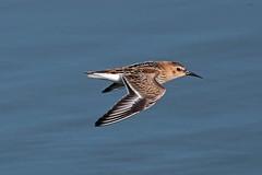 dunlin (DODO 1959) Tags: wildlife dunlin birds fauna avian animal outdoor nature flight water canon 7dmk2 100400mmmk2 wales carmarthenshire kidwellyquay