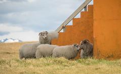 Cape Ingolfshofdi, Iceland. (katebosworth1) Tags: sheep orange iceland sony grass building wool 6500 mirrorless
