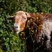 Tenerife Sheep