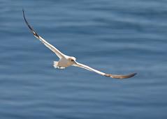 Flight (jaomul) Tags: gannet satees nikon bird seabird wexford