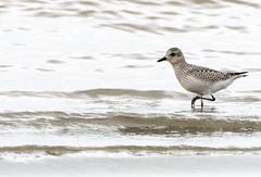 Pluvier argenté Siscoe 15-09-2019 (frankthewood63) Tags: 2019 valdor abitibi québec oiseaux oiseau birds bird siscoe