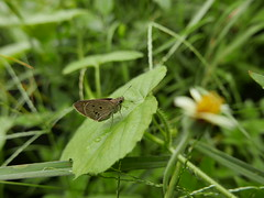 skipper (DOLCEVITALUX) Tags: flora fauna lumixlx100 panasoniclumixlx100 panasoniccameras insects butterfly skipper