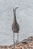 White Faced-Heron at the waters edge