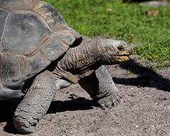 Aldabra Tortoise (Joey Hinton) Tags: olympus omd em1 40150mm f28 palm beach zoo florida mft m43 microfourthirds