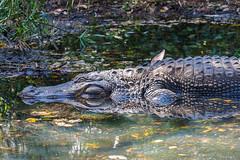 Alligator (Joey Hinton) Tags: olympus omd em1 40150mm f28 palm beach zoo florida mft m43 microfourthirds