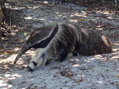 Giant Anteater (Joey Hinton) Tags: olympus omd em1 40150mm f28 palm beach zoo florida mft m43 microfourthirds