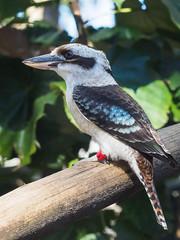 Kookaburra (Joey Hinton) Tags: olympus omd em1 40150mm f28 palm beach zoo florida mft m43 microfourthirds