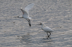Tired of listening? Royal spoonbill taking off. (Maureen Pierre) Tags: royalspoonbill large white bird ashleyestuary river activity tide blackbilledspoonbill selfintroduced spreading pair male female spoon bill