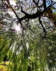 Lying under a tree. (thparrot2) Tags: tree nature huawei pov green calm sun