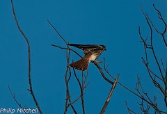 American Kestral-2000-3-1-1-2-Edit (Philip Mitchell for the birds) Tags: bird americankestrel