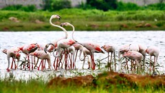 Flamingos (Captured by Bachi) Tags: flickr instagram canon monsoon lakeview lake bestclick bestshot best photography new lovely love hyderabad india birdphotography birds flamingos