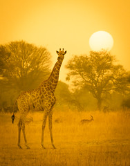 Giraffe Facts (Trey Ratcliff) Tags: africa botswana stuckincustomscom treyratcliff giraffe anima animal portrait sun plain tree workshop