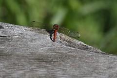 Img_6856 (steven.heywood) Tags: commondarter dragonfly