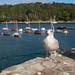 Adolescent Gull