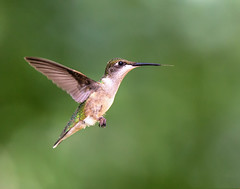 On a Mission (dshoning) Tags: hummingbird rubynecked flying september iowa