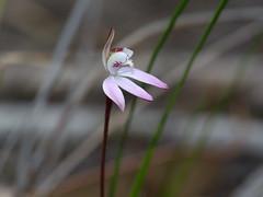 Pink Fingers (Boobook48) Tags: caladeniacarnea pinkfingers brisbaneranges victoria orchidaceae flower pink plant flora