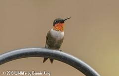 Just Before The Rain Hit (Wildlife by Dennis King) Tags: hummingbird rubythroatedhummingbird