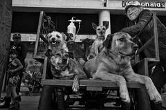 A don Jesús se le suele ver con sus acompañantes peludos en la septima con avenida Jiménez, en el centro de Bogotá.  Gomelo, Violeta, Consuelo, Patricia, Comino, Shakira y Pirulo. Son los integrantes de la manada, cuyo miembro más antigüo se unió hace sie (Lu Vélez) Tags: pets photooftheday ilovemydog lovedogs pup cute eyes dogsofinstagram instadog dogs petsagram animals pet instagood dogstagram nature hound instagramdogs dogoftheday instapuppy toptags puppy lovepuppies doglover petstagram dogsitting animal dog adorablecatpetportrait