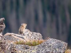 Pika contemplating life... (Lisa Saffell) Tags: lumix wildlife nature scenicdrive trailridgeroad nationalpark rockymountains colorado pika