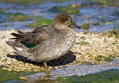 Eurasian Teal (Alan McCluskie) Tags: teal eurasianteal ducks wwtslimbridge canon7dmk2 sigma150600mmsp