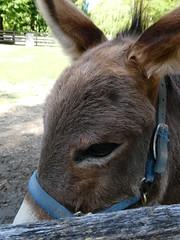 Him! (eileenmak) Tags: sarniaontario canatarapark childrensfarm donkey