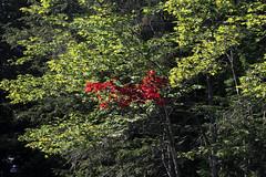 fall is coming (scienceduck) Tags: scienceduck 2019 september cottage muldrew muldrewlake lakemuldrew gravenhurst muskoka fall leaves red green