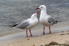 Give us a kiss love! - A pair of seagulls at the waterfront (Merrillie) Tags: silvergulls wildllife nature swansea birds day beach australia weather newsouthwales animal earlymorning nsw seagulls wild wet daytime wetweather swanseachannel bird rainyday rainy animals fauna raining swanseabaybeach twoofakind