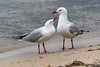 Give us a kiss love! - A pair of seagulls at the waterfront